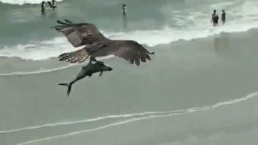 Απίστευτο Βίντεο: Τεράστιος αετός κρατάει στα νύχια του έναν καρχαρία! Είναι δυνατόν;