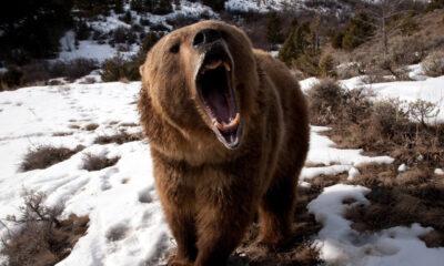 Οι αρκούδες θεωρούνται πολύ επικίνδυνα ζώα ειδικά για τον άνθρωπο, απο τον οποίο θεωρούν ότι απειλούνται. Παρότι είναι όμως τόσο επικίνδυνα