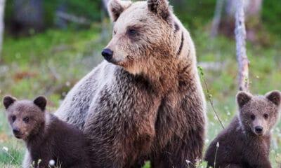 Το πιο δυνατό ζώο σε ολόκληρο τον πλανήτη θεωρείται ότι είναι η καφέ αρκούδα η οποία είναι τόσο υπερπροστευτική στην οικογένεια της που δεν